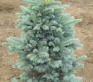 ´Glauca´ Cork bark fir