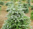 ´Silver Show´ Korean fir