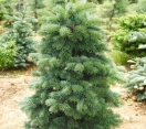 ´Martha´s Vineyard´ Alpine fir