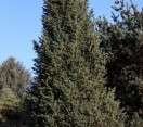 ´Conica´ White fir