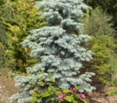 ´Blue Cloak´ White fir