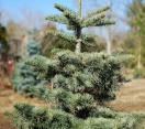 ´Nana´ California red fir