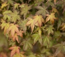 ´Shindeshojo´ Japanese Maple