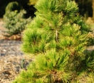 ´Golden´ Japanese Red Pine