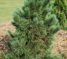 ´Domingo´  White Pine Hybrid