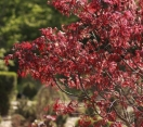 ´Emperor 1´ Japanese Maple