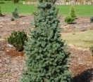 ´Fastigate´ Colorado Blue Spruce