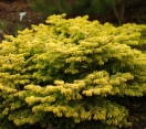 ´Golden Spreader´ Nordman fir