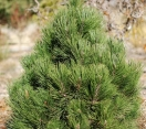 ´Green Bun´ Bosnian Pine