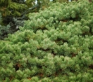 ´Hillside Creeper´ Scotch Pine