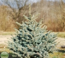 ´Hunnewelliana´ Colorado Blue Spruce