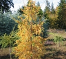 ´Diana´ Japanese Larch