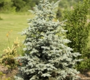 ´Bakeri´ Colorado Blue Spruce