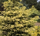 Early Gold Colorado Spruce