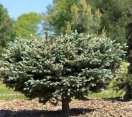 ´Globe´ Colorado Blue Spruce