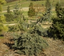 ´Weeping Koster´ Colorado Blue Spruce