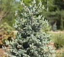 ´Baby Blue´ Colorado Spruce