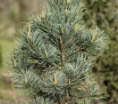 ´Morris Blue´ Korean Pine