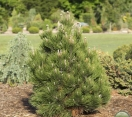 ´Don Smith´ America Red Pine