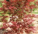 ´Trompenburg´ Japanese Maple