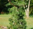 ´Uncle Fogy´ Contorted Jack Pine