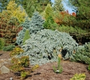 ´The Blues´ Colorado Blue Spruce