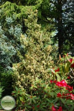 Chamaecyparis nootkatensis variegata