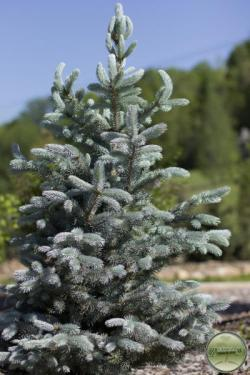 ´Hoopsi´ Colorado Blue Spruce