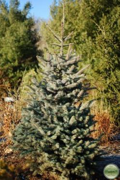 Mission blue colorado blue spruce