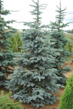 ´Thomsen´ Colorado Blue Spruce
