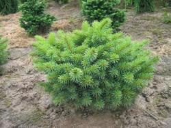 ´Taponis´ Colorado Spruce