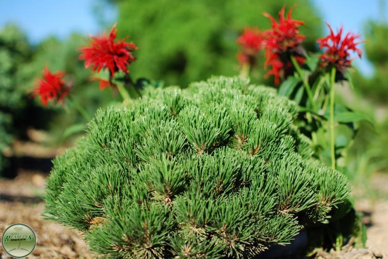 Dwarf Swiss Mountain Pine Swiss Mountain Pine Zone 2-7